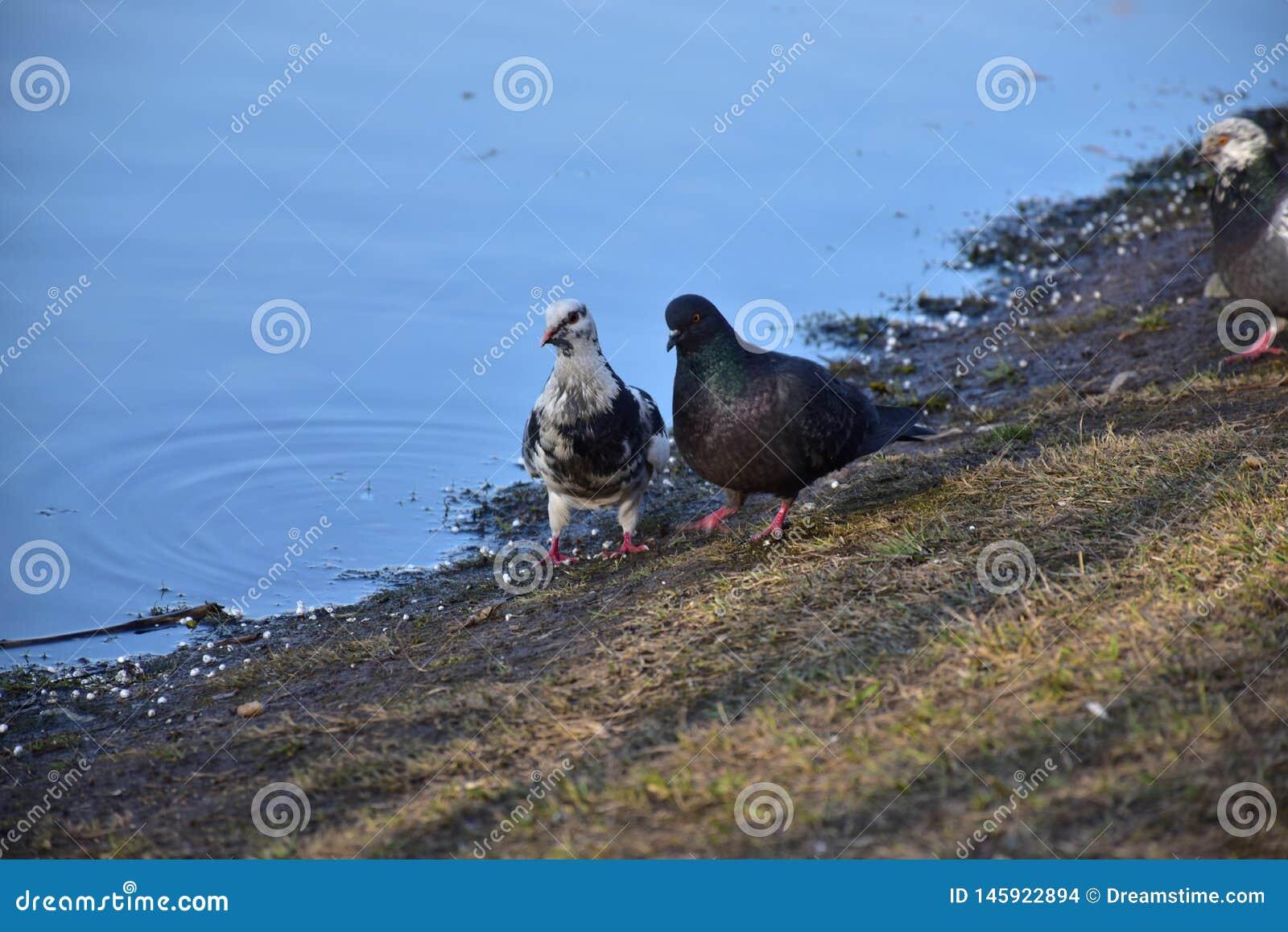 Pair of pigeons - newlyweds