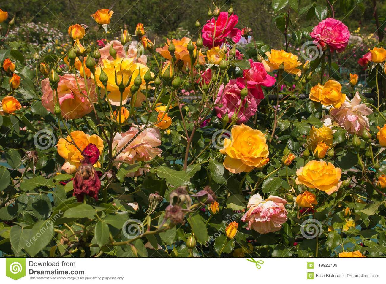 Wonderful Rose Garden With Many Variety Of Flowers Stock Image ...