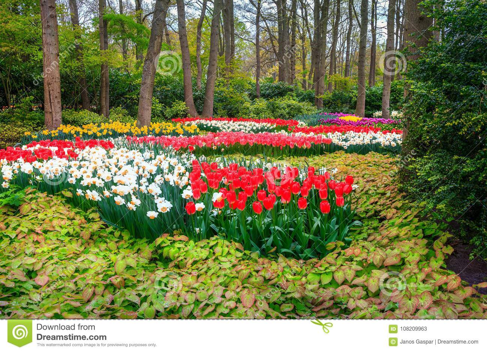 fresh blooming tulips in spring flower garden, keukenhof park