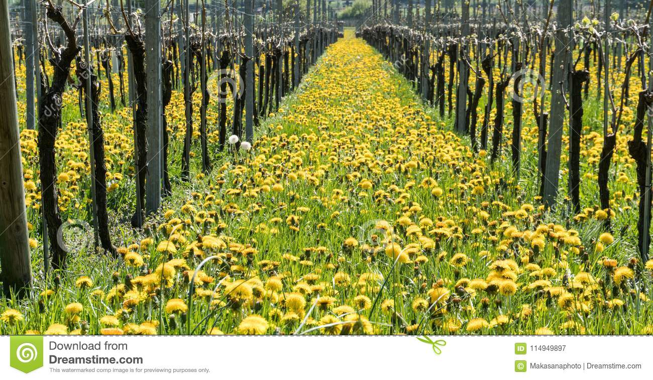 Wonderful View Of Vineyards In Spring With Yellow Flowers And