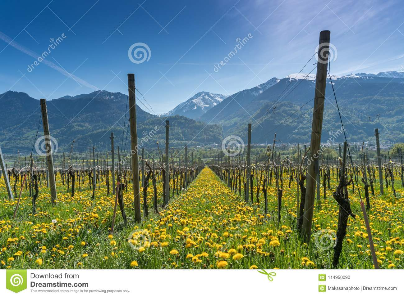 Wonderful view of vineyards in spring with yellow flowers and endless rows of vines