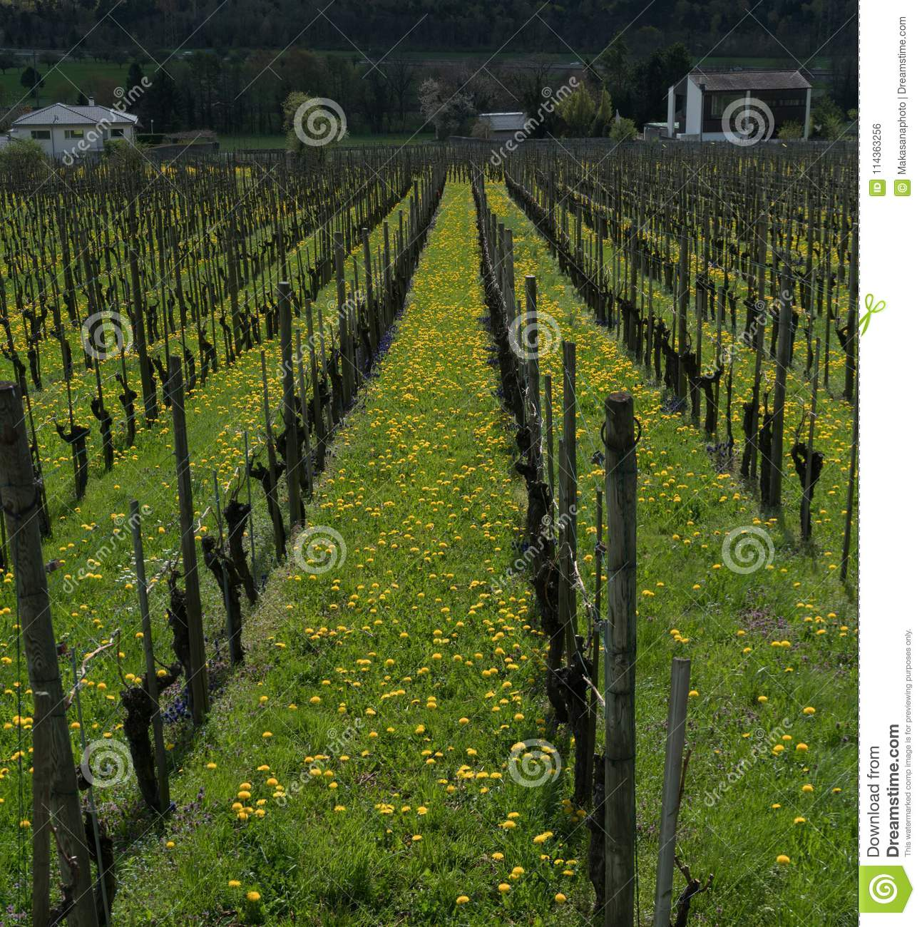 Wonderful View Of Vineyards In Spring With Yellow And Purple Flowers