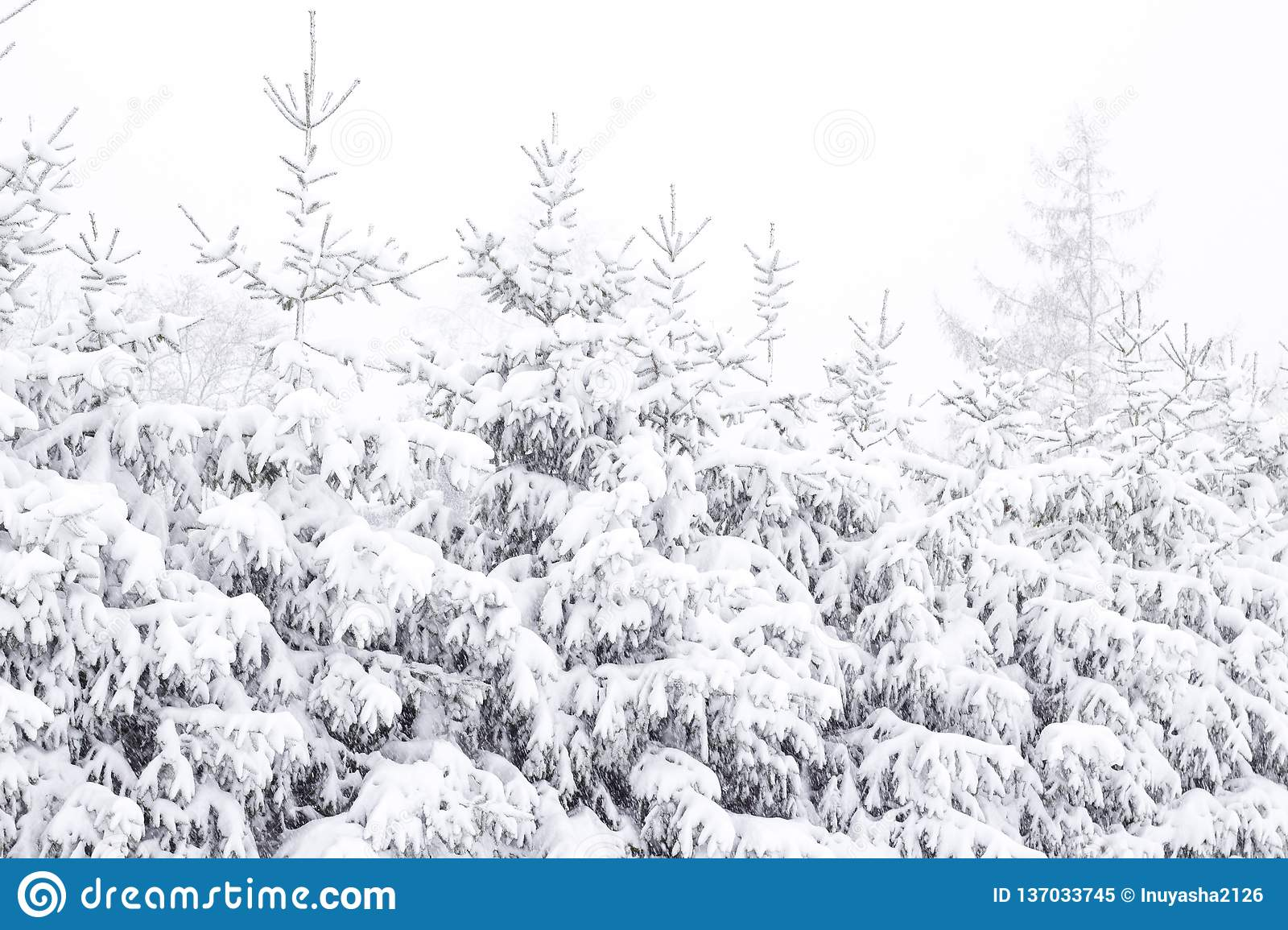 Wonderland Fir trees covered snow Beautiful Winter landscape scene background with snow covered trees Beauty winter backdrop