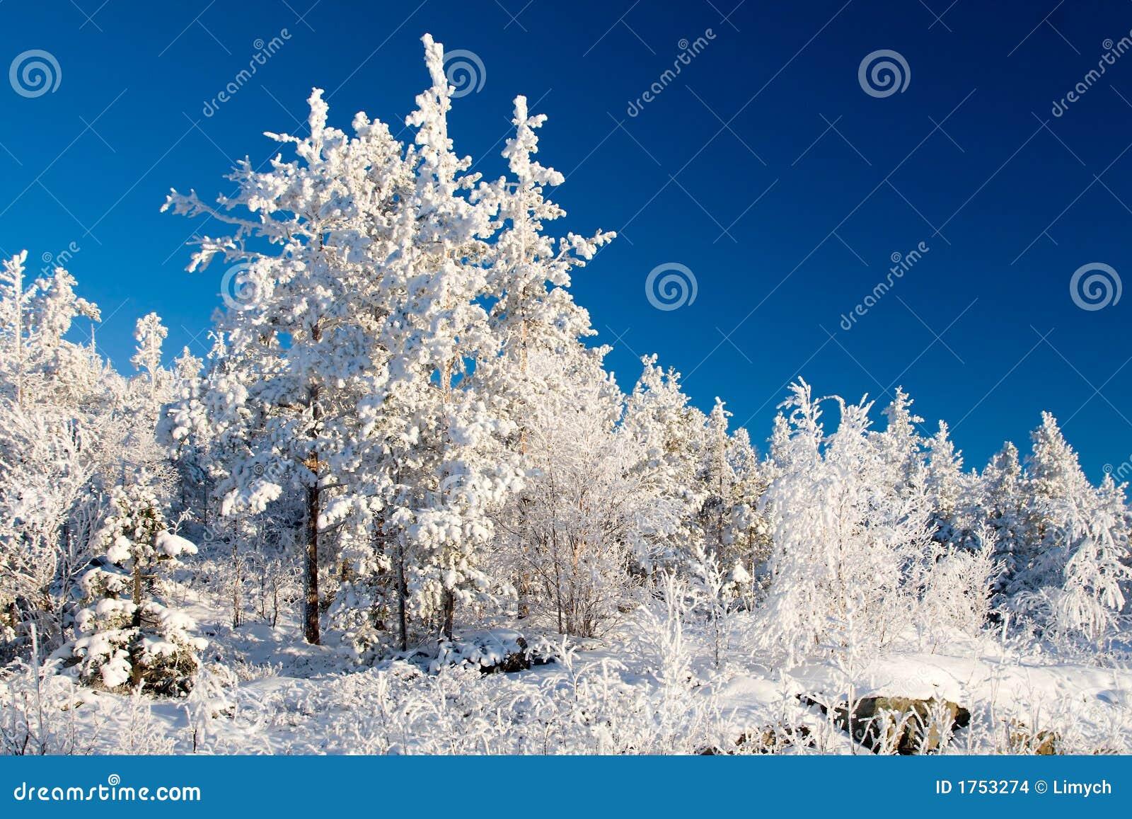 Wonderland quiet winter frozen forest