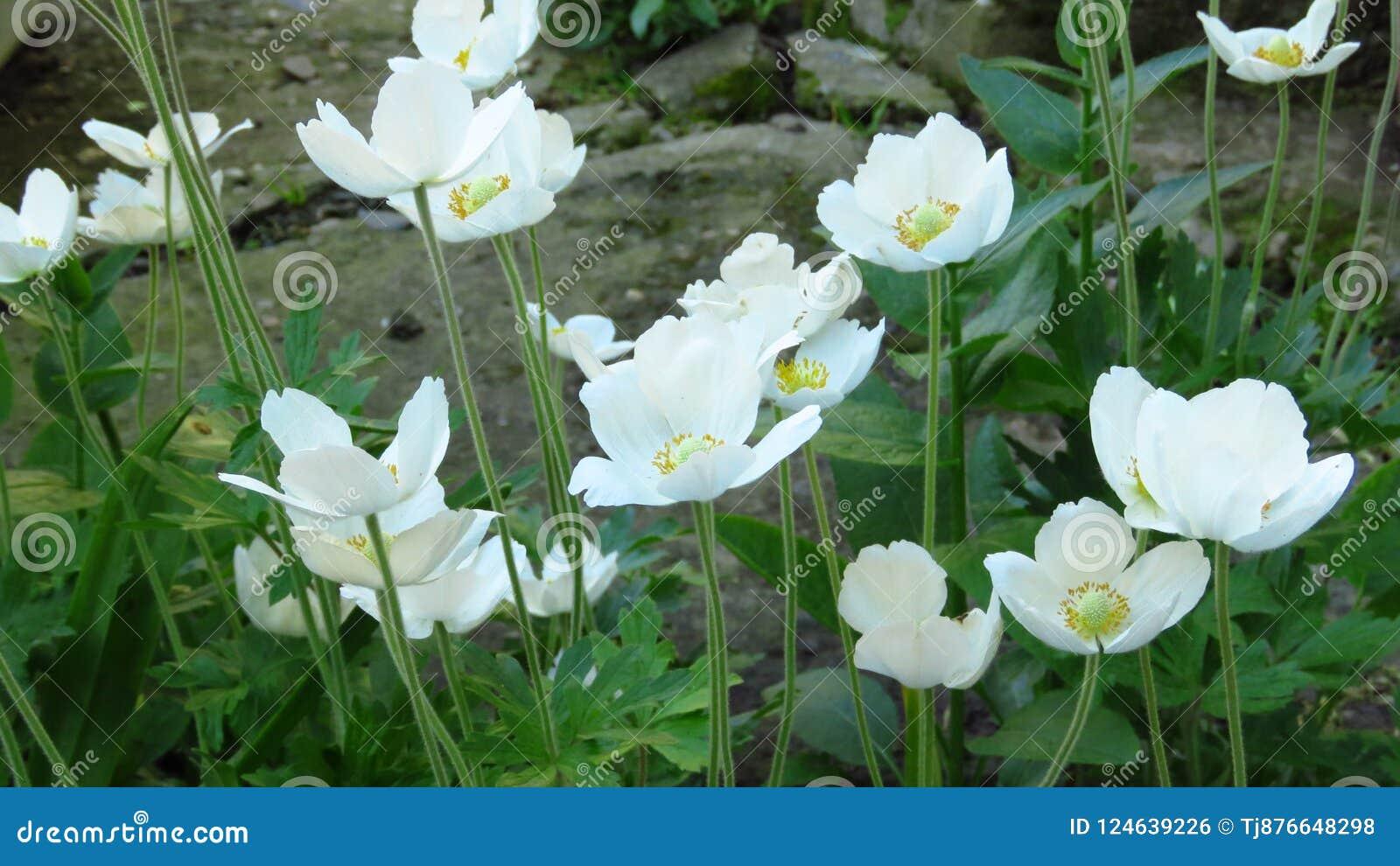 Wood Anemone Anemone Nemorosa Beautiful Summer White Garden