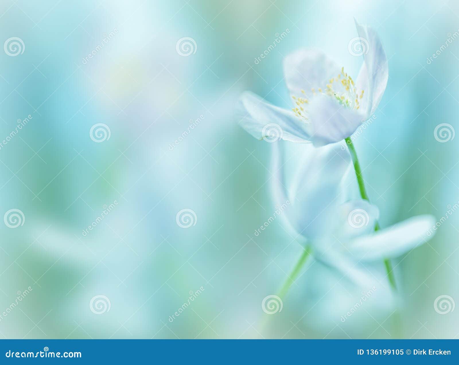 Wood anemone background. White wildflowers shallow depth