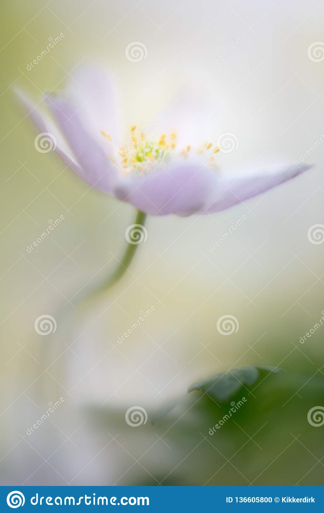 Wood anemone a delicate spring wild flower