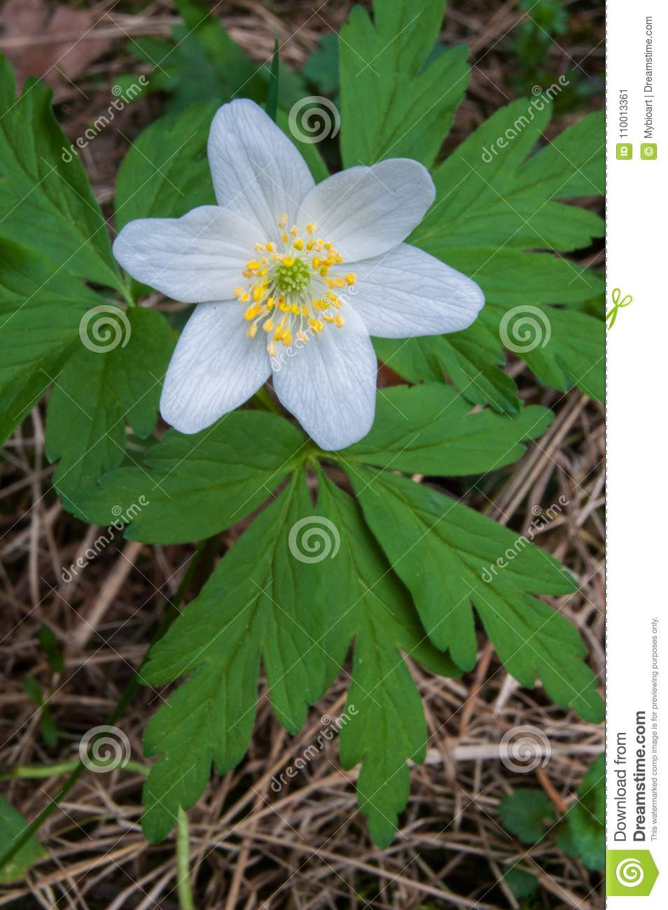 Wood Anemone Is Early Spring Flowering Plant Stock Image Image Of