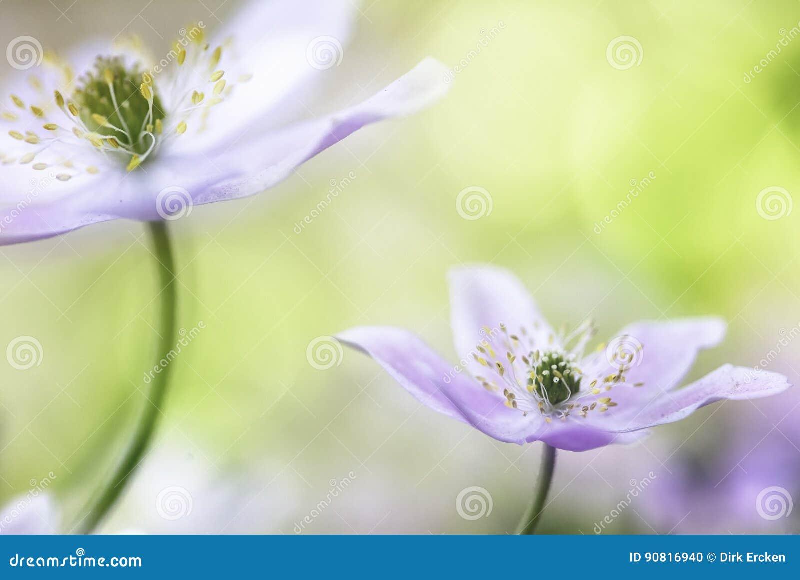 Wood anemone fantasy