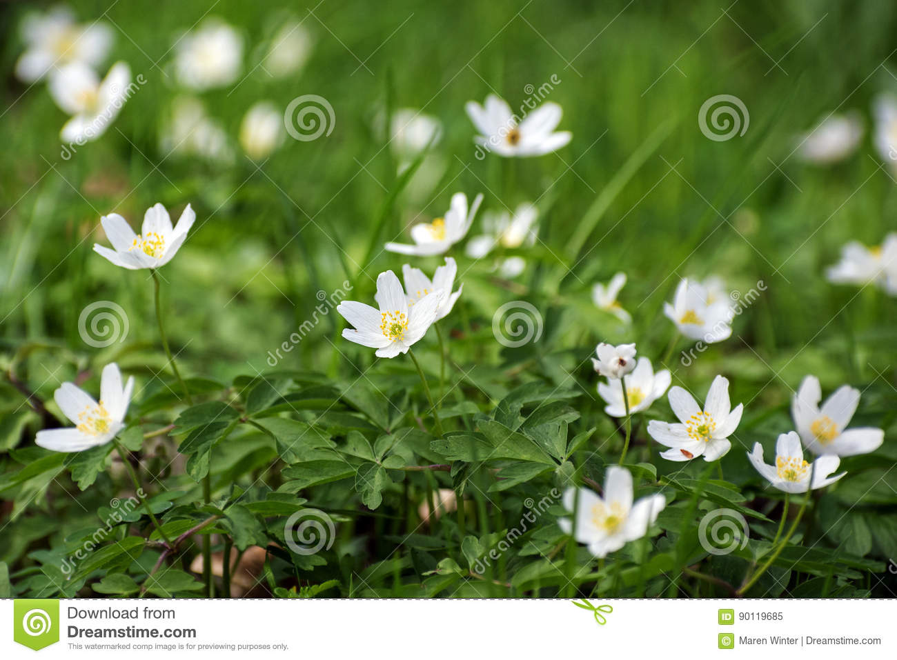 Wood Anemone Flowers White Flowering Ground Cover In The Forest