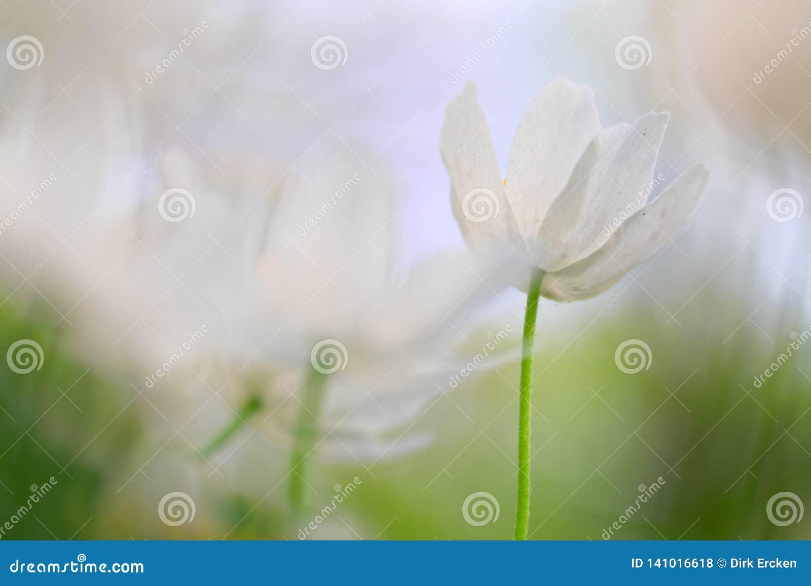 Wood anemone minimalism