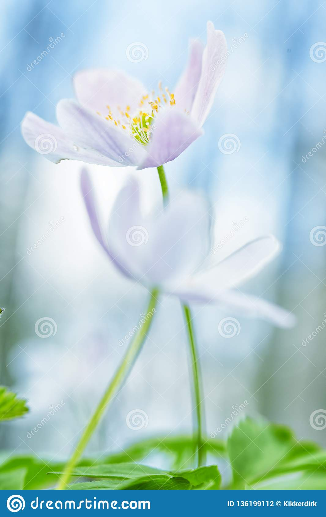 Wood anemone pair in love abstract