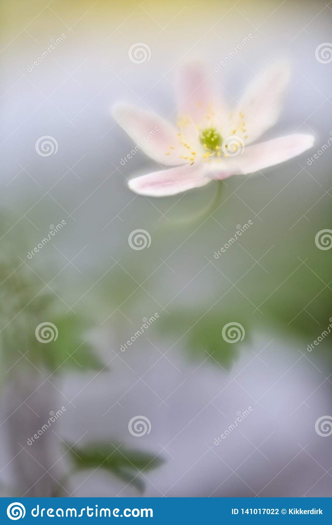 Wood anemone white spring wildflower