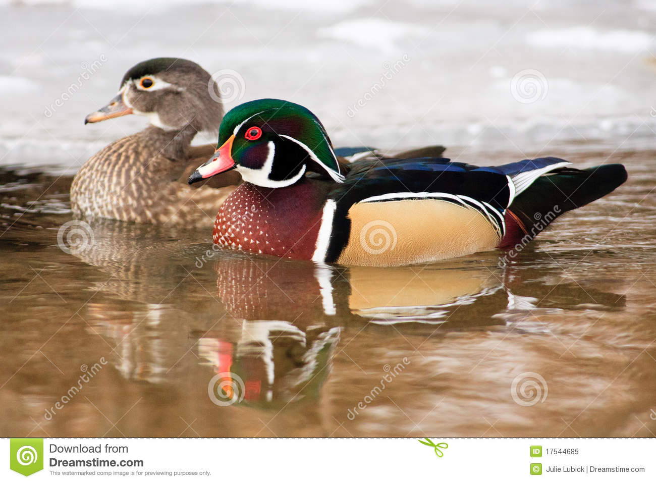 Wood Duck Pair Swimming Together Royalty Free Stock Photo ...