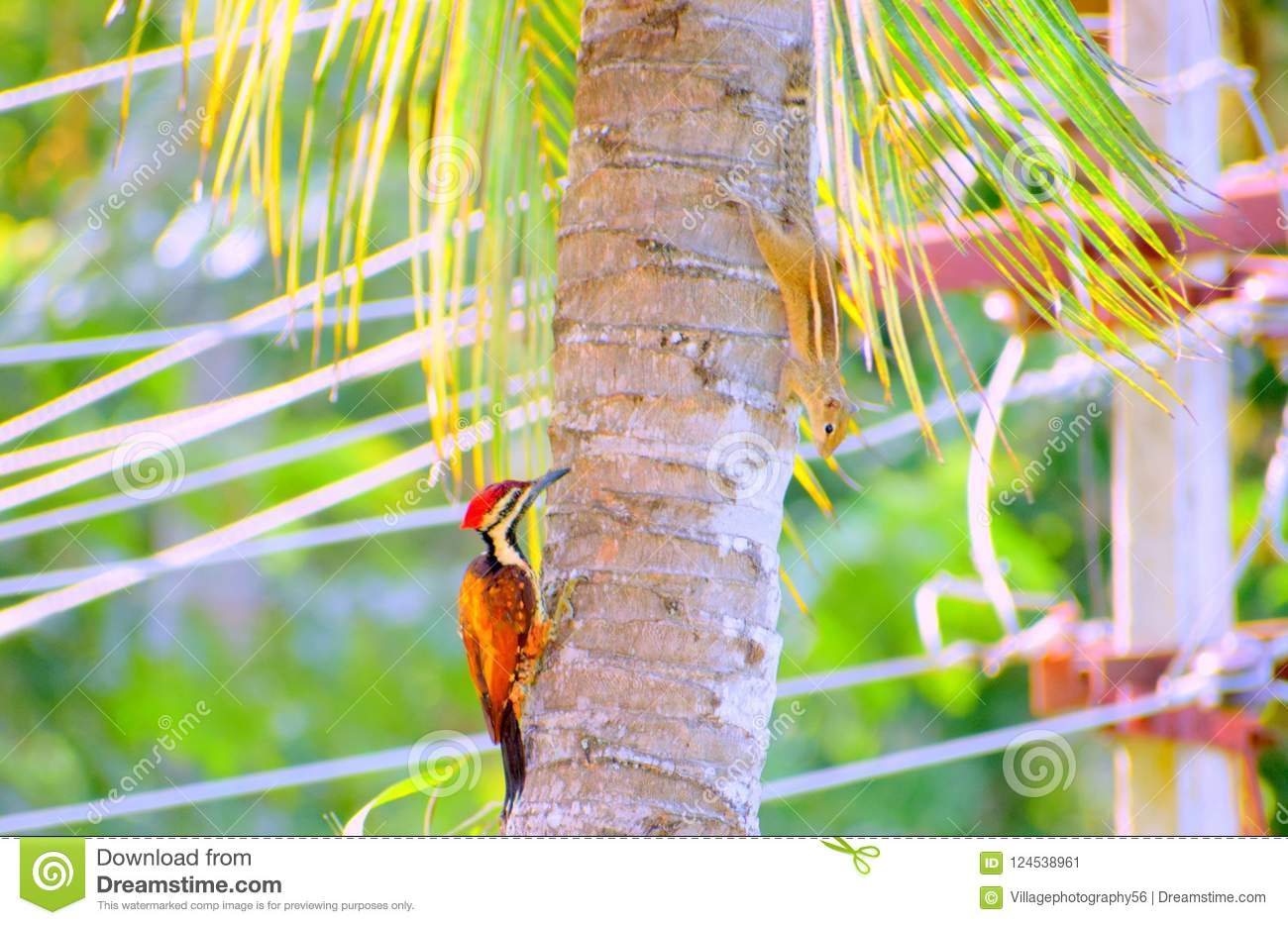 A wood pecker and an Indian squirrel playing hide & seek on a tree