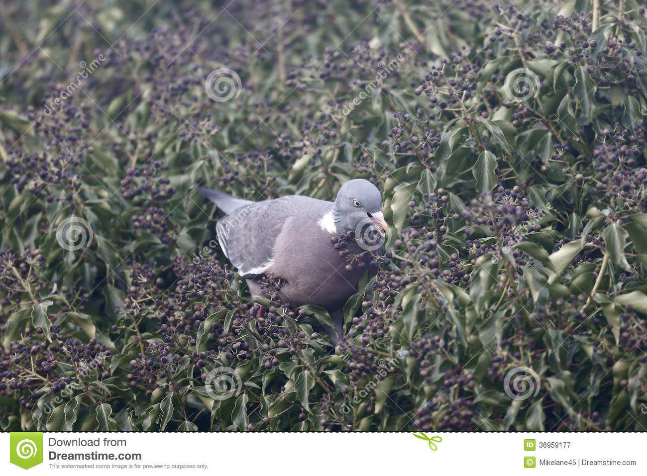 white pigeon divorced singles White pigeon dream  means at least a separation between them that can reach divorce because of infidelity of him or her dreaming of white doves flying.