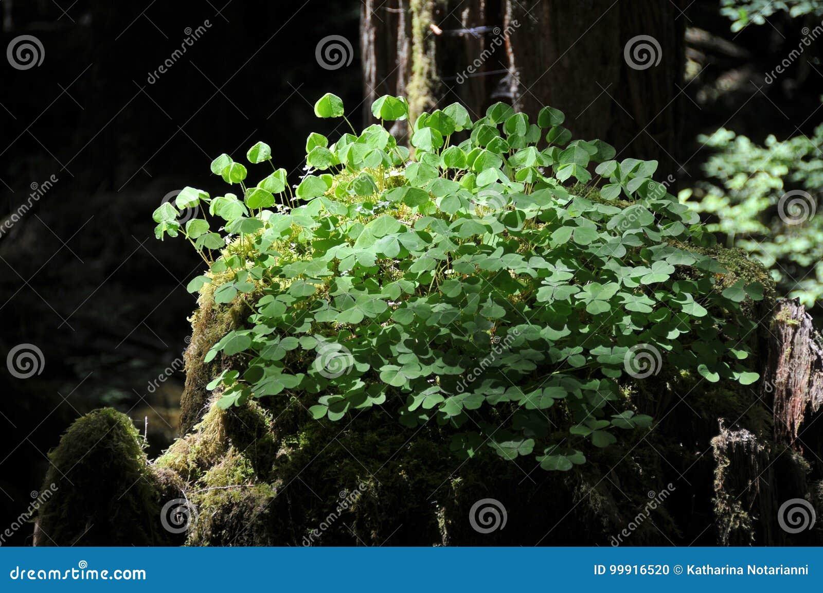 Wood Sorrel Oxalis Oregana Growing On Old Growth Tree Stump In
