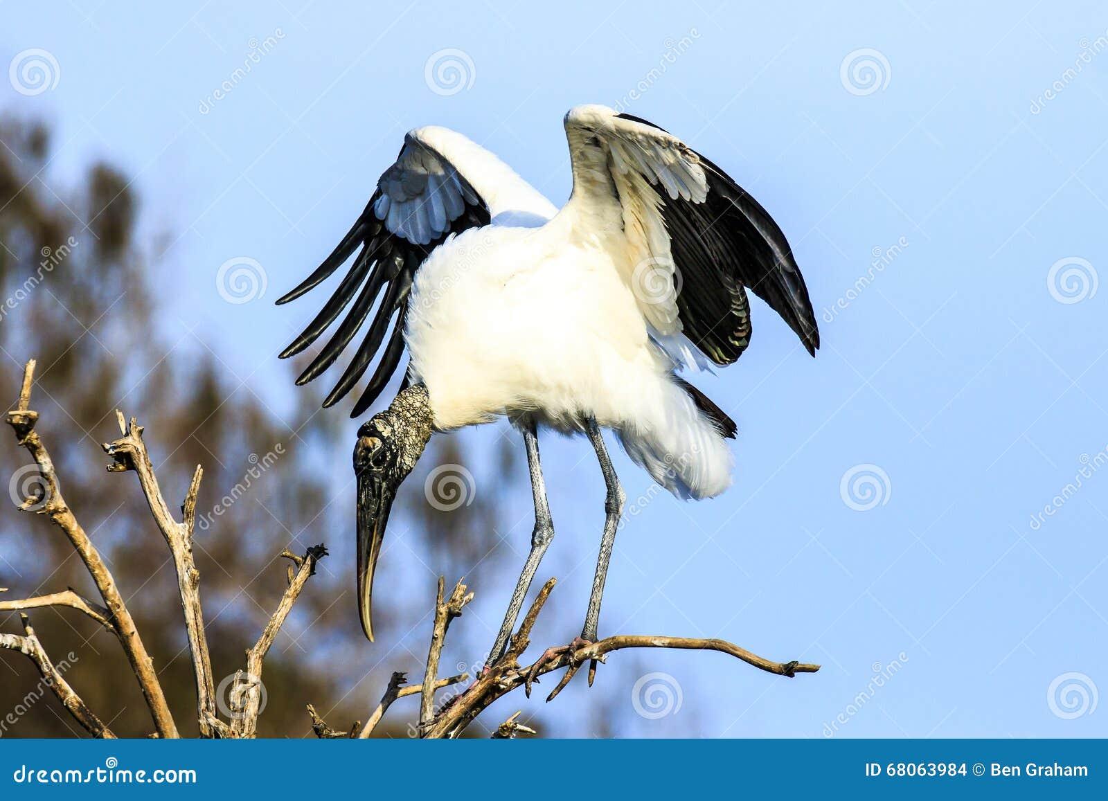 Tropical Island Beach Ambience Sound: Wood Stork Stock Photo. Image Of Florida, Wakodahatchee