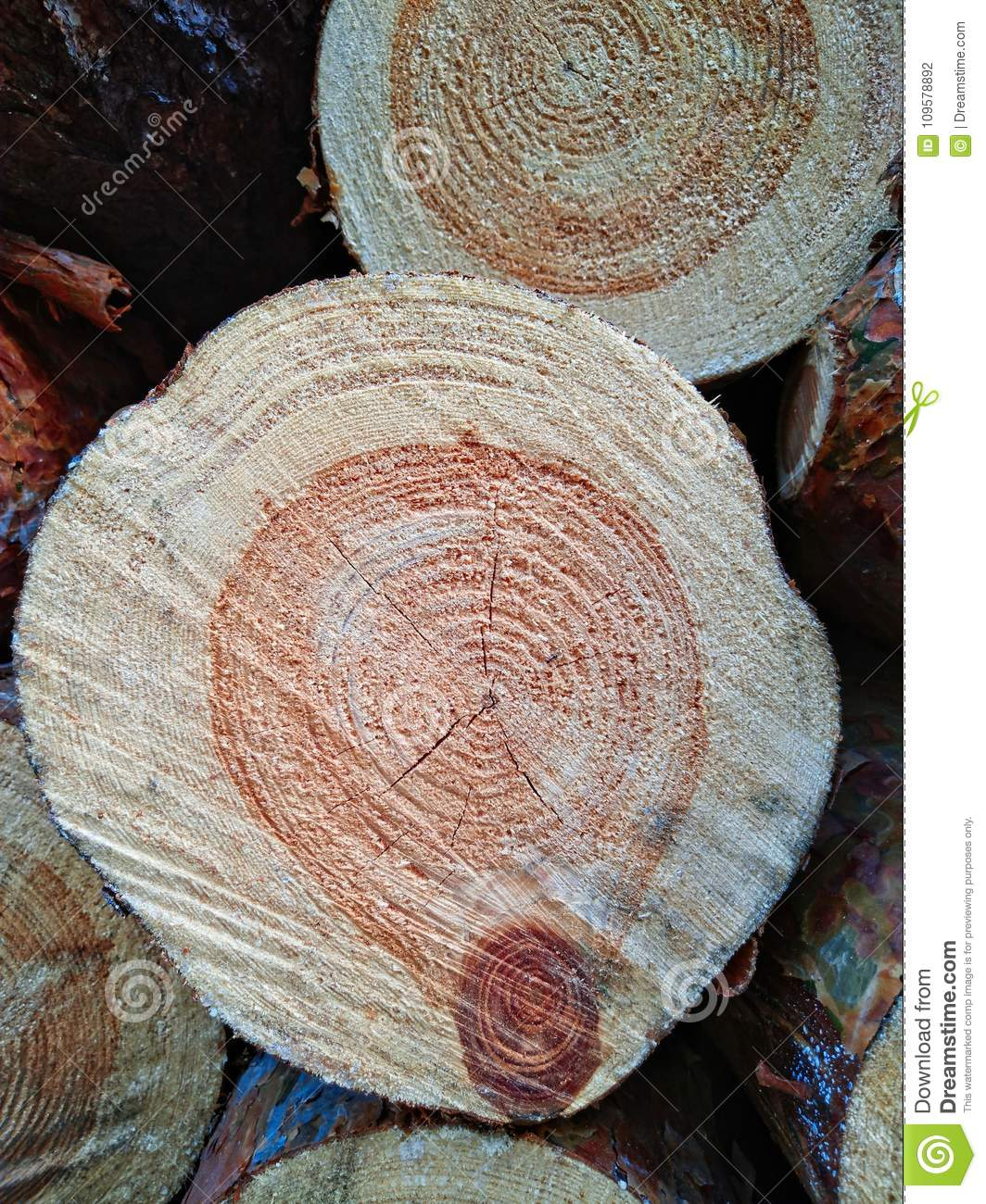 Wood texture of cut tree trunk.