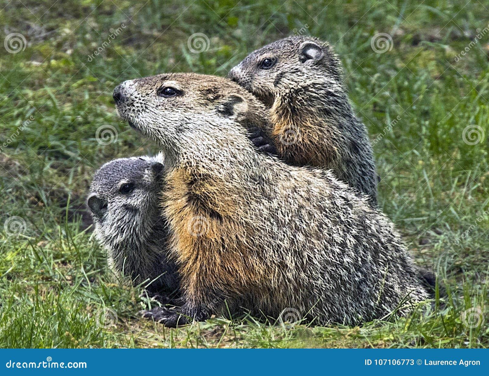 Woodchuck Family