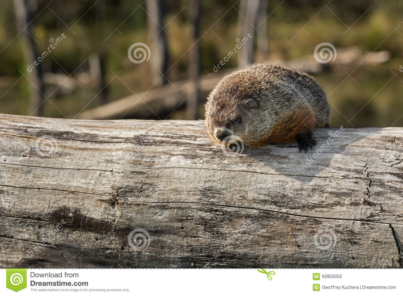 Woodchuck (Marmota monax) Looks Out from Atop Log