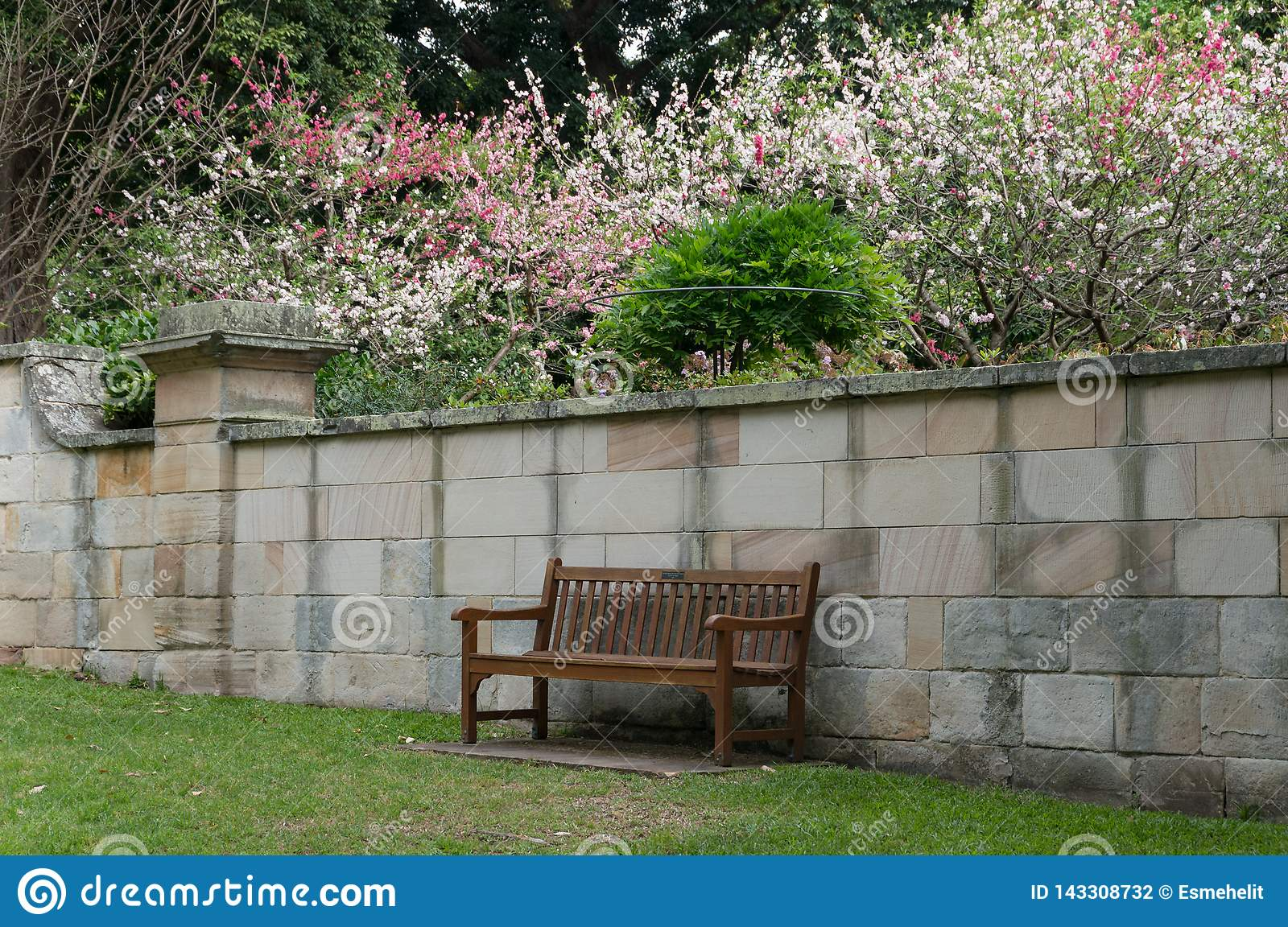 Wooden bench in a garden with blooming sakuras on the background