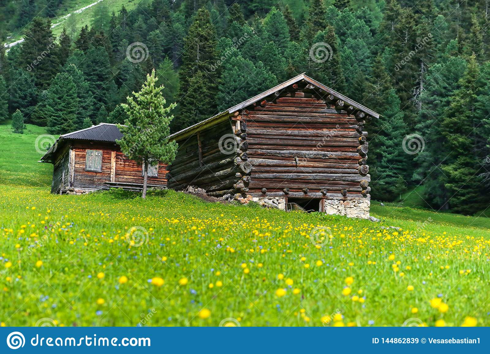 Wooden cabins and a meadow with yellow globe flowers in Dolomites