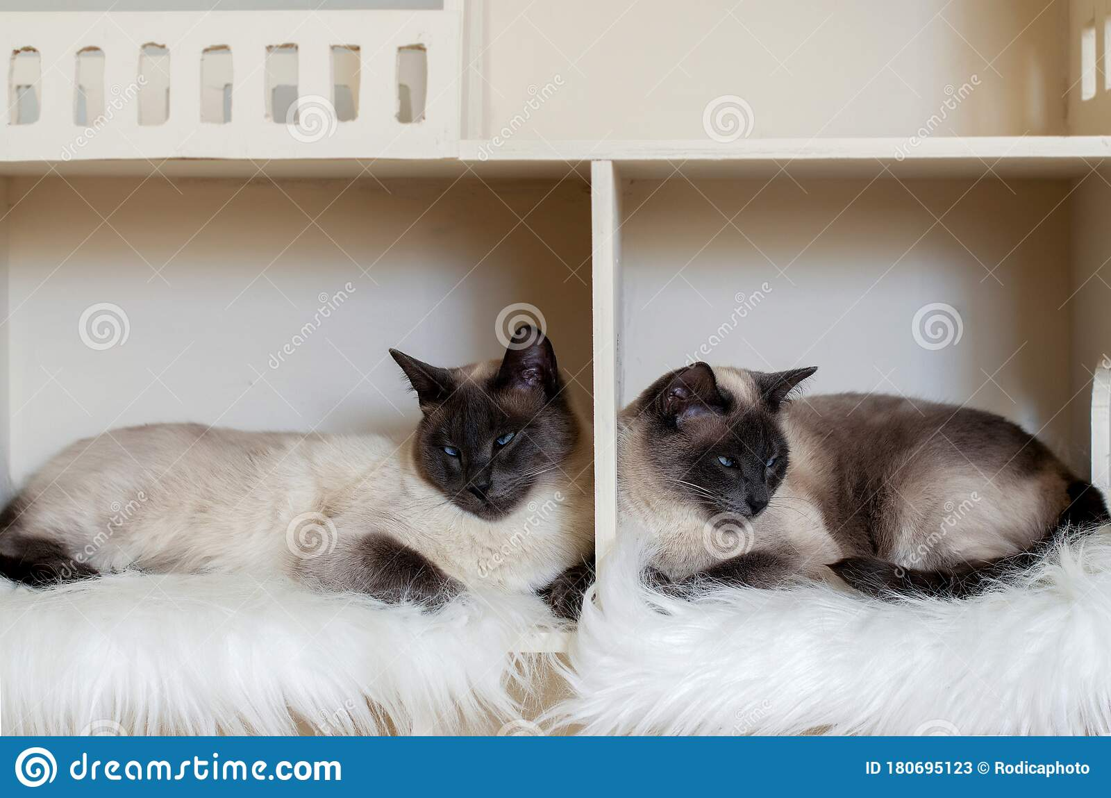 Two Domestic Short Haired Cat Brothers In Cat House Domestic Cat Twins Stock Image Image Of Greedy Curious 180695123