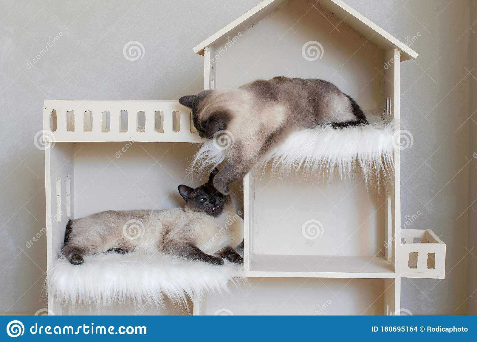 Two Domestic Short Haired Cat Brothers In Cat House Domestic Cat Twins Stock Photo Image Of Catty Dynamic 180695164