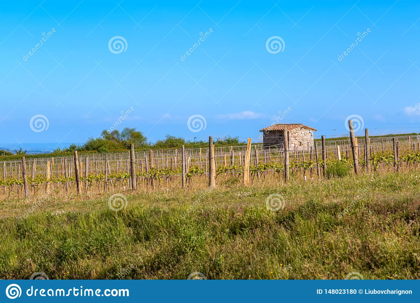 Wooden poles with stretched metal wire support the vineyard lit by evening light. Medieval shed on the field. Blue sky. Art photo.