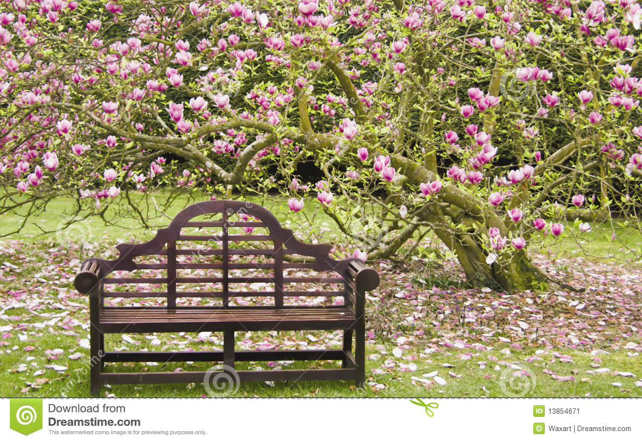 Wooden Seat Under Blossoming Magnolia Tree Stock Image