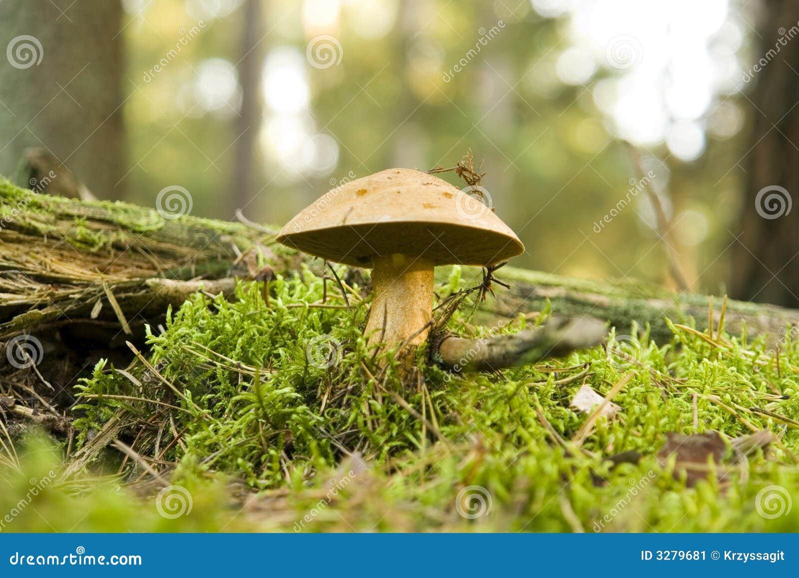 http://thumbs.dreamstime.com/z/woodland-mushroom-3279681.jpg
