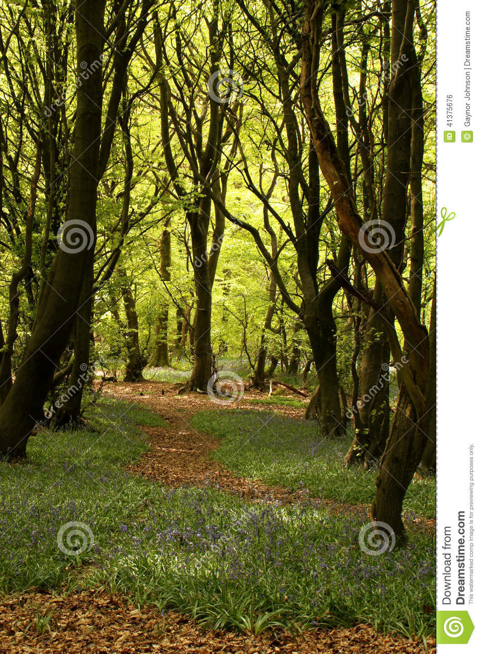 Woodland path with trees and bluebells