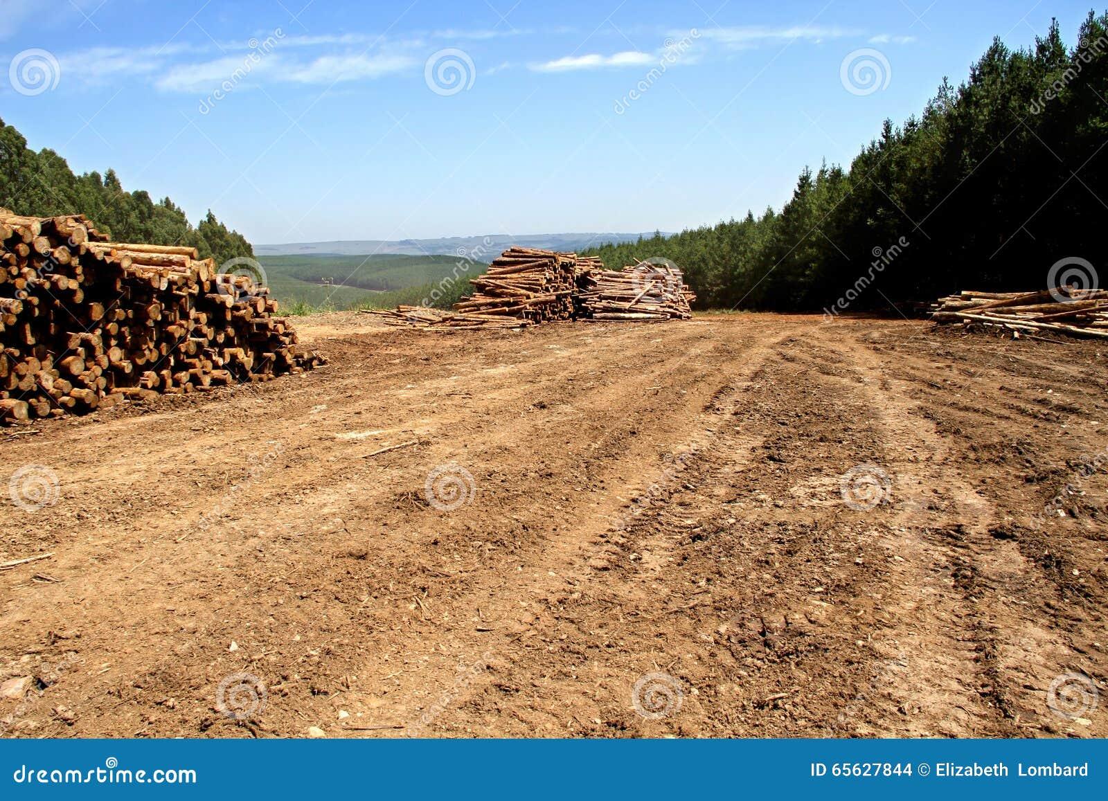 Woodlogs de pin dans la plantation