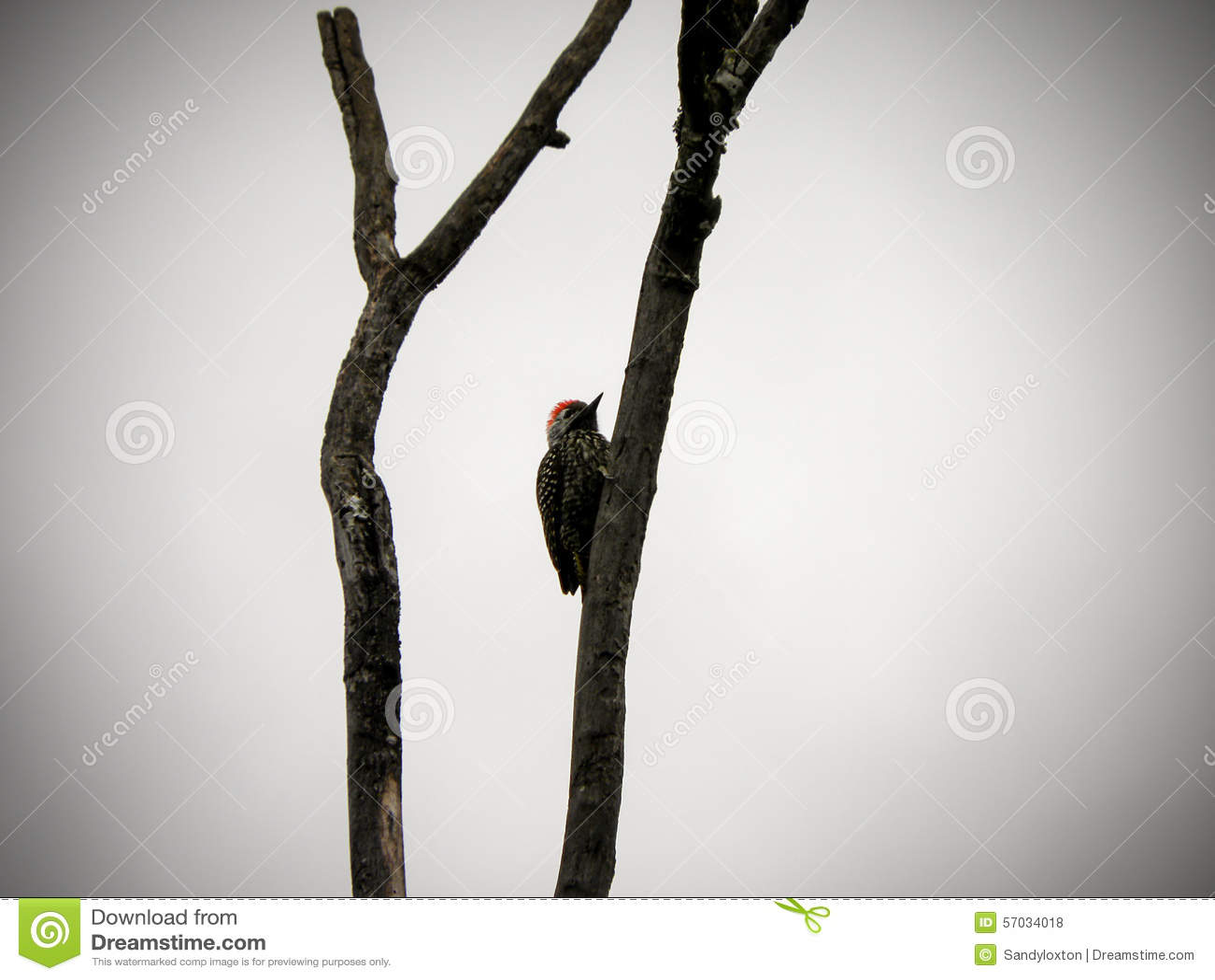Woodpecker cardinal 3