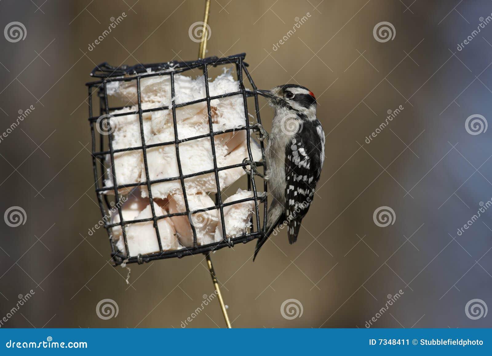 Woodpecker Downy (medianus dos pubescens do Picoides)