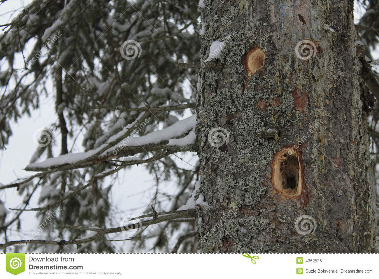 Chapter 22 Respiratory System 1 additionally 7461541 moreover Identifying Killer Trees In Sequoia National Park likewise Article besides 5149315. on trunk cavities