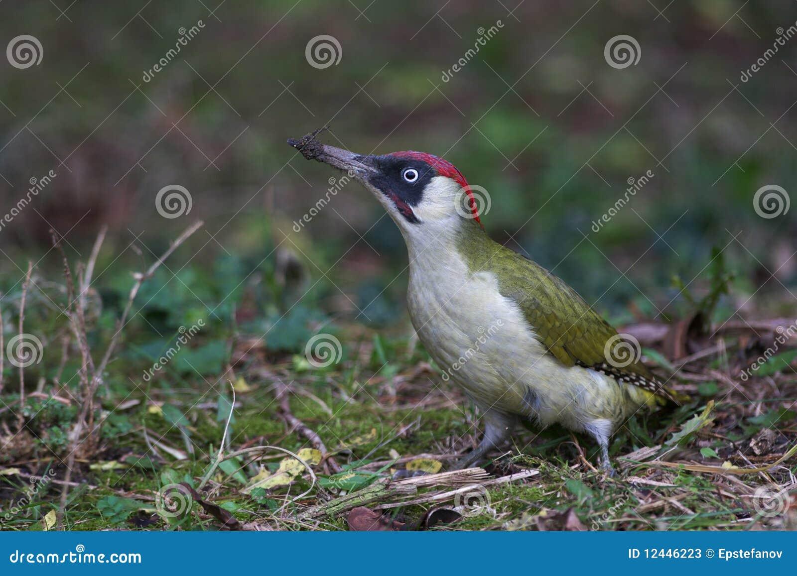 Woodpecker verde