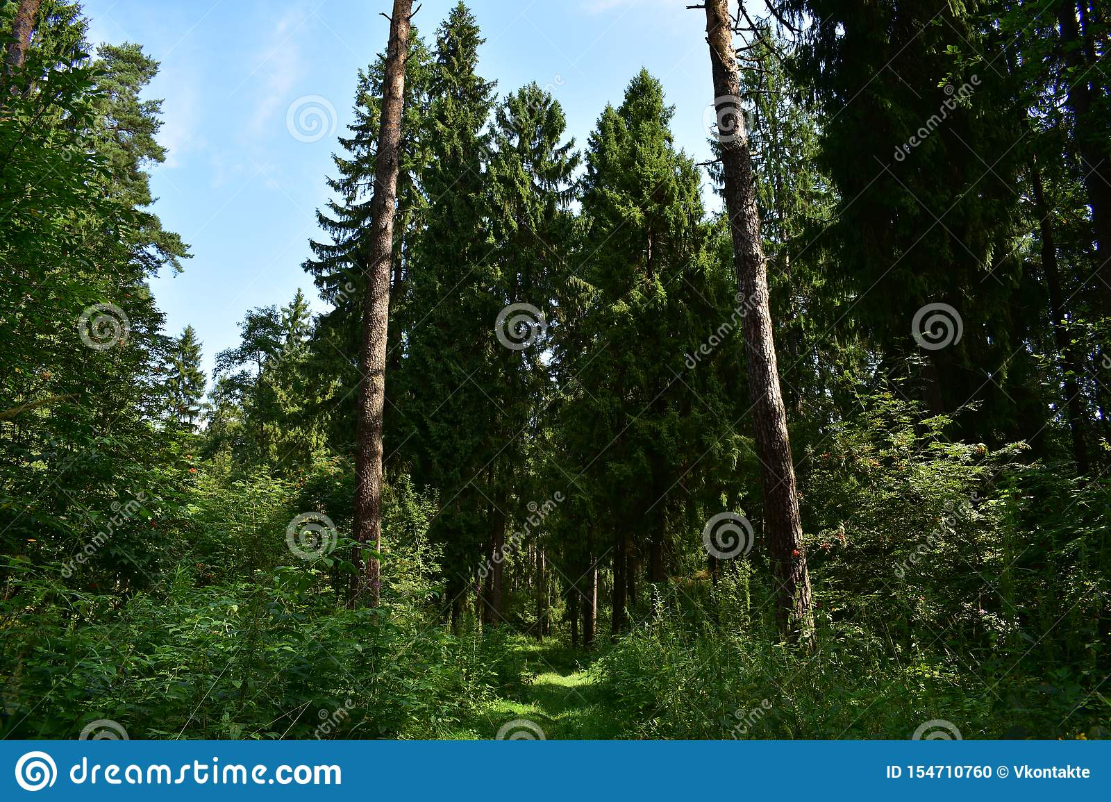 In the woods. The road in the spruce forest runs a path among the fragrant fresh herbs evergreen forest smells of pine cones