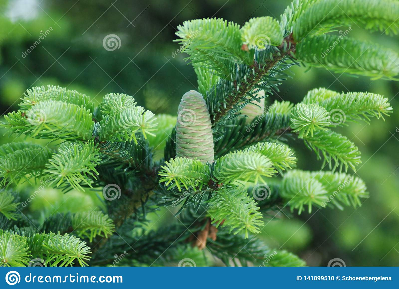 Fresh Young Pine Cone and Needles