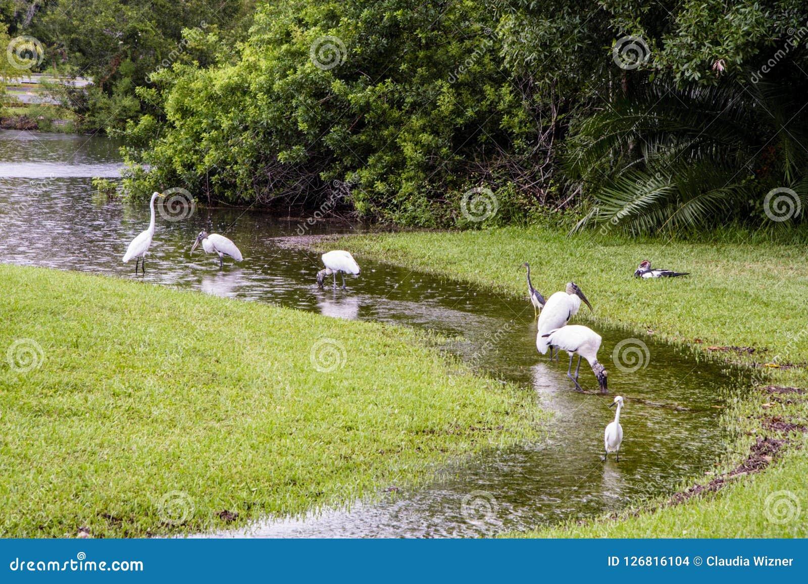 Woodstorks en de Aigrettes waden in stroom