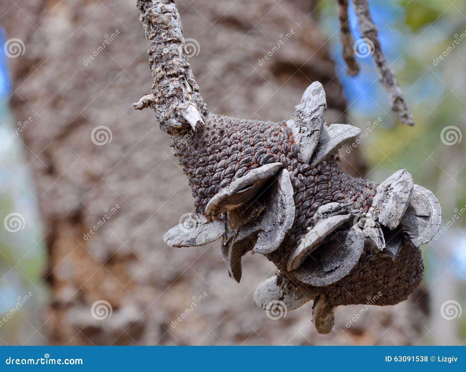 Download Woody Banksia Fruit sec photo stock. Image du fruits - 63091538