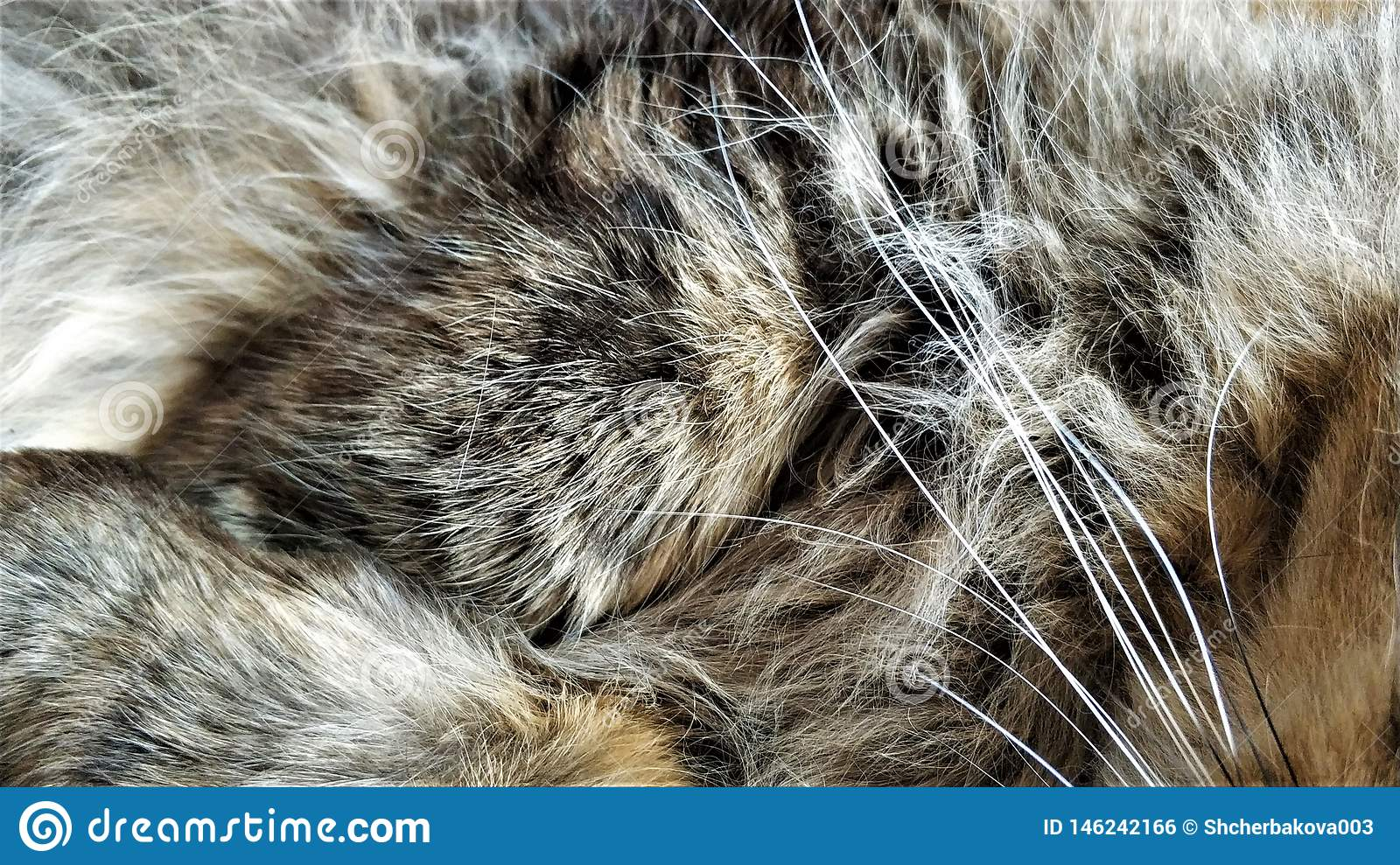 Wool hairs of fluffy Siberian cat close up