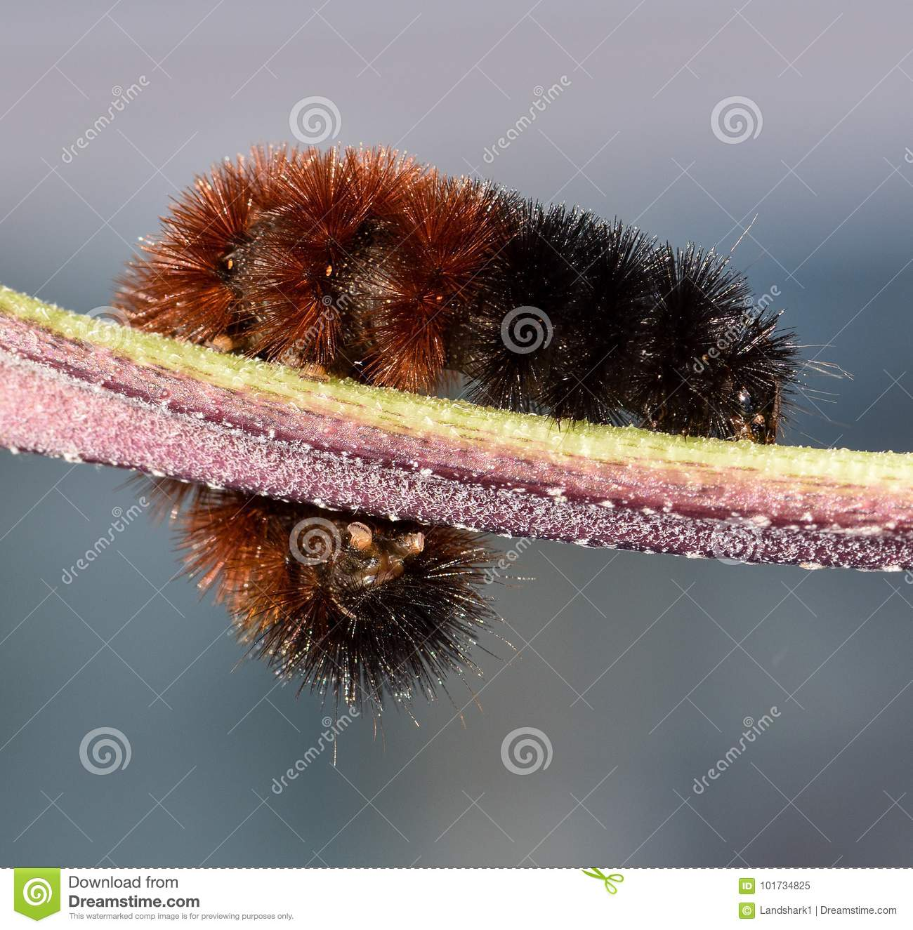 All Black Woolly Bear Caterpillars: Woolly Bear Caterpillar Crawling On A Stem. Stock Image
