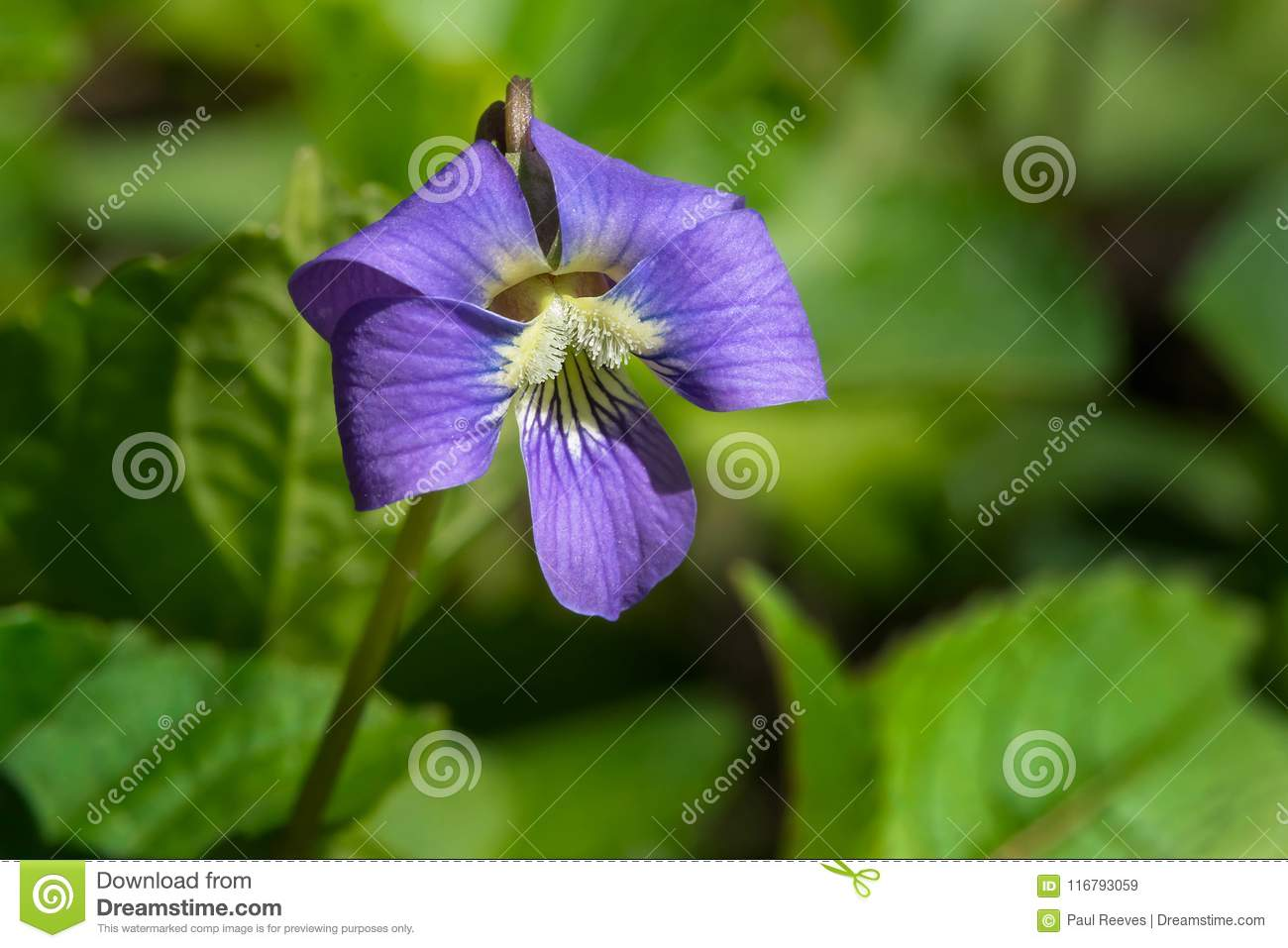 Download Common Blue Violet - Viola Sororia Stock Image - Image of wildflowers, canada: 116793059