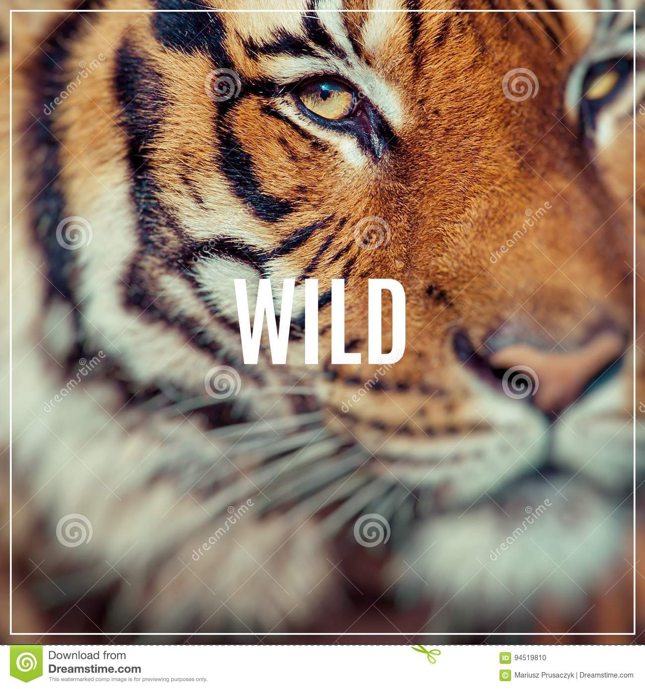 word wild close up of a tigers face selective focus stock photo