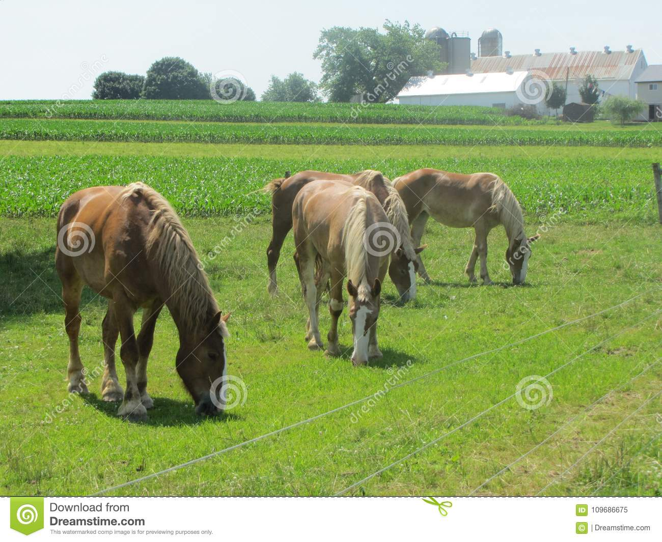 Beautiful Work Horses For The Amish In Pennsylvania Stock Image Image Of Animals Horses 109686675