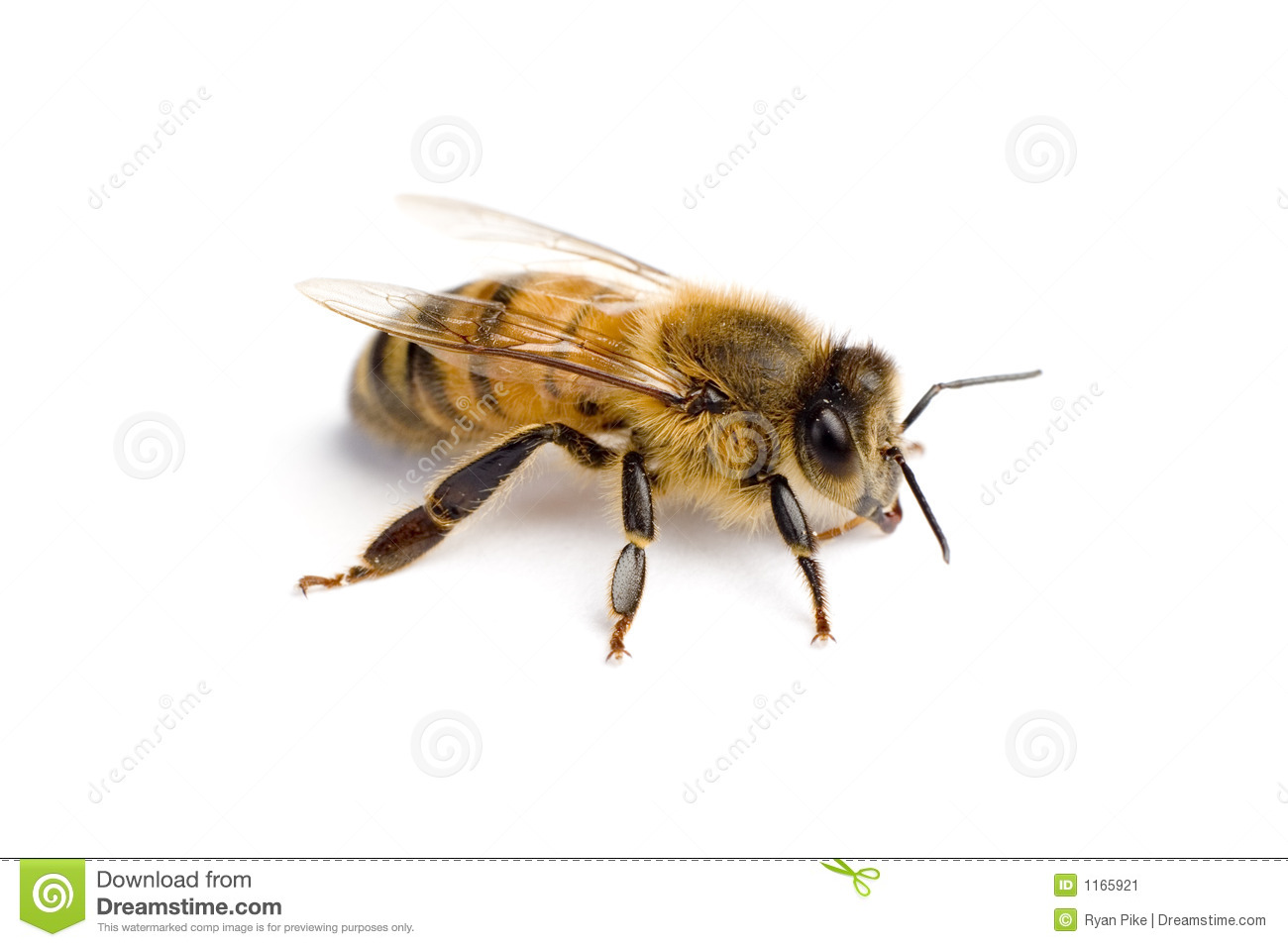 insect drones with Stock Image Worker Bee Image1165921 on Stock Image Worker Bee Image1165921 also Honey Bee Queen together with Honey Bee Life Cycle furthermore Watch together with The Wasp Life Cycle When Do Wasps Die Off.