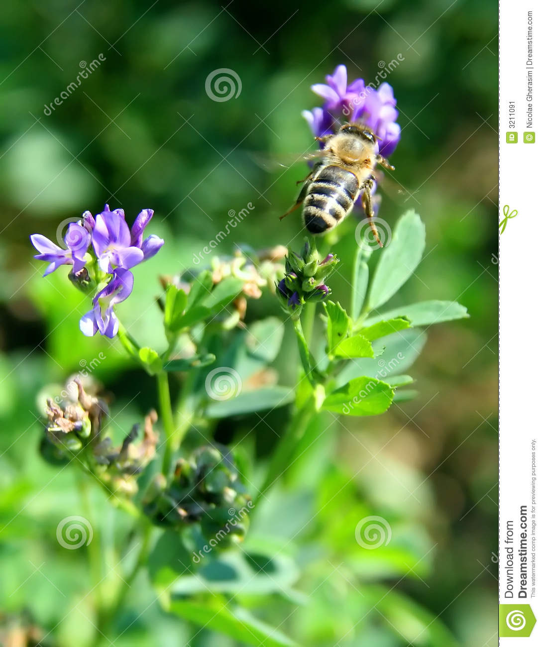 Worker bee collecting nectar