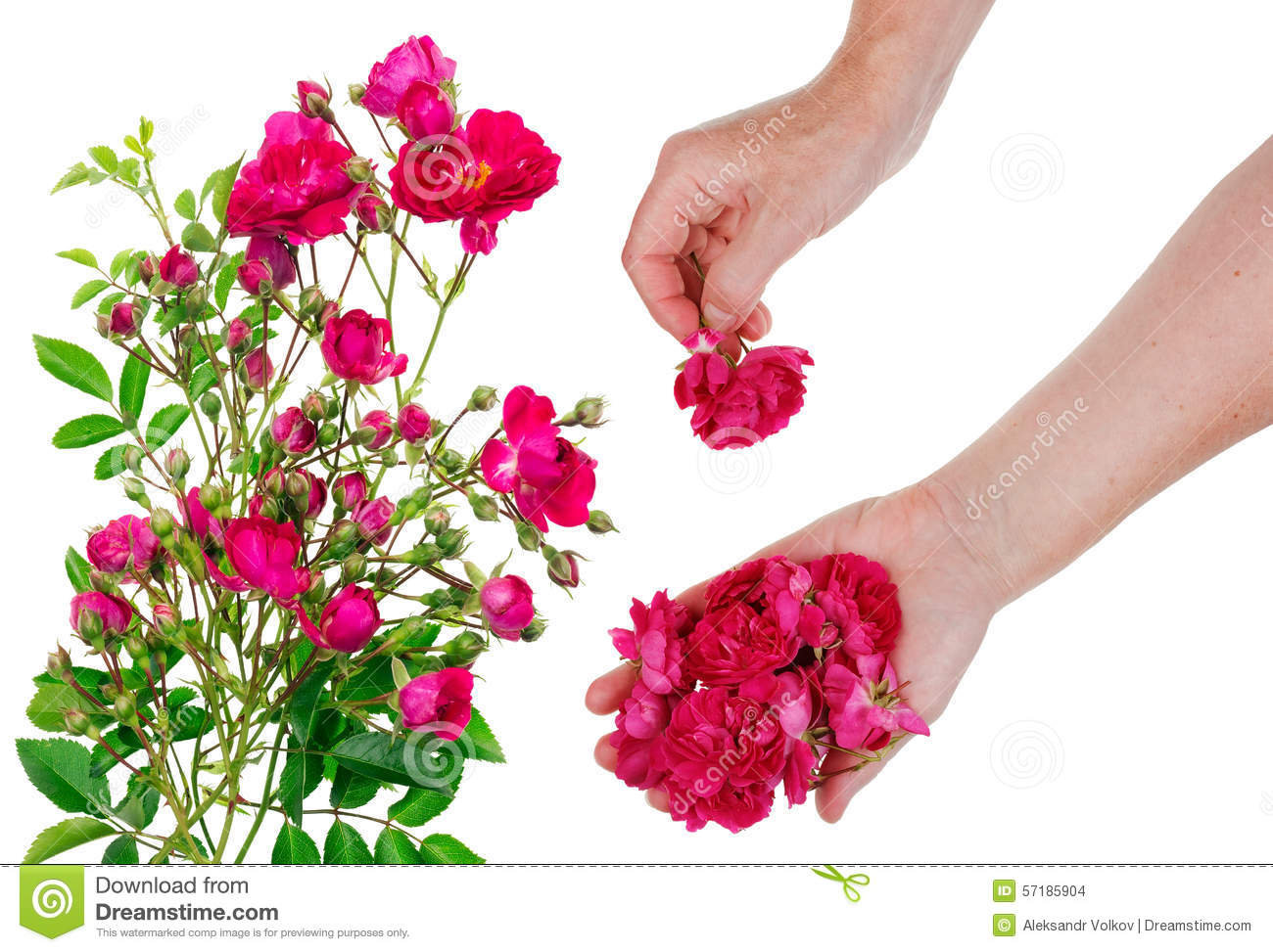 Worker Pick Flowers Of Pink Roses Stock Photo - Image of green ...